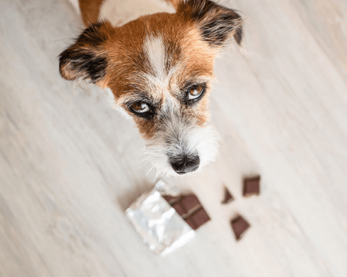 understand the causes when your pets eat the chocolate